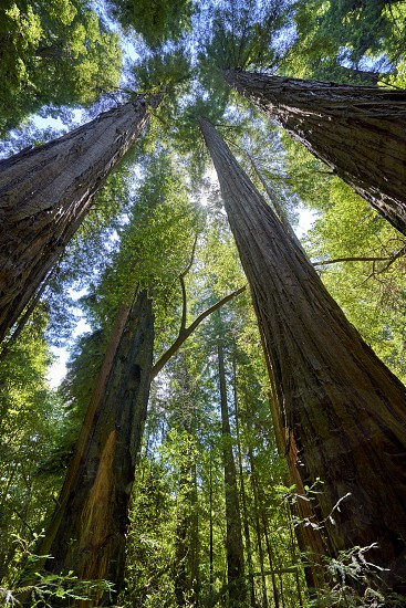 among the tallest of Redwood trees looking up in wonder photo
