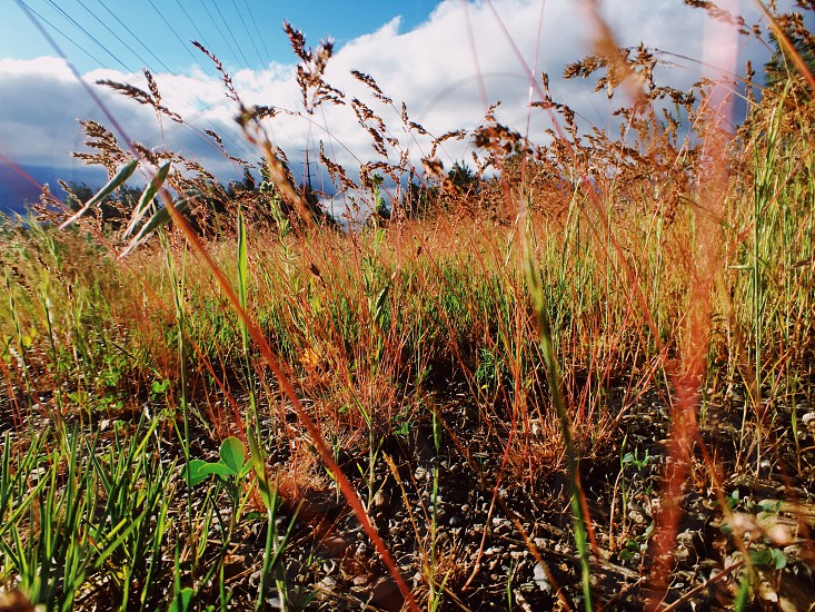 Wild grasses spring growth in a field with low angle view. Stalks of grasses with motion blur in the foreground impending or receding storm clouds in the background. Edited with Agfa Ultra 50.   photo