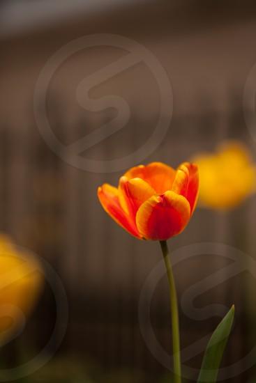 tulip spring flowers spring tulips orange tulip single tulip spring beauty photo