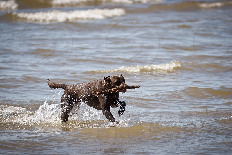 photography of black Labrador retriever biting twig near body of water during daytime photo