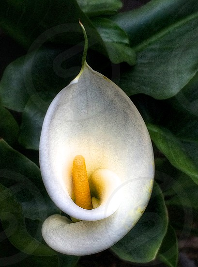 photo of white petal flower with yellow stigma surrounded by green leaves photo