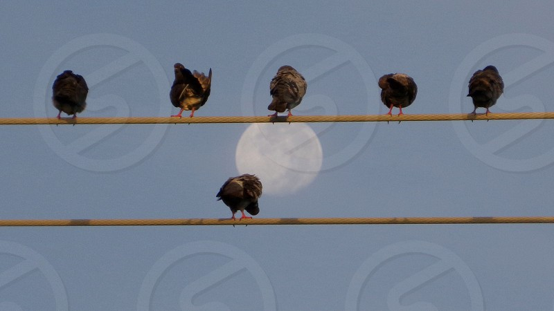 Birds on a wire and the setting moon.  photo