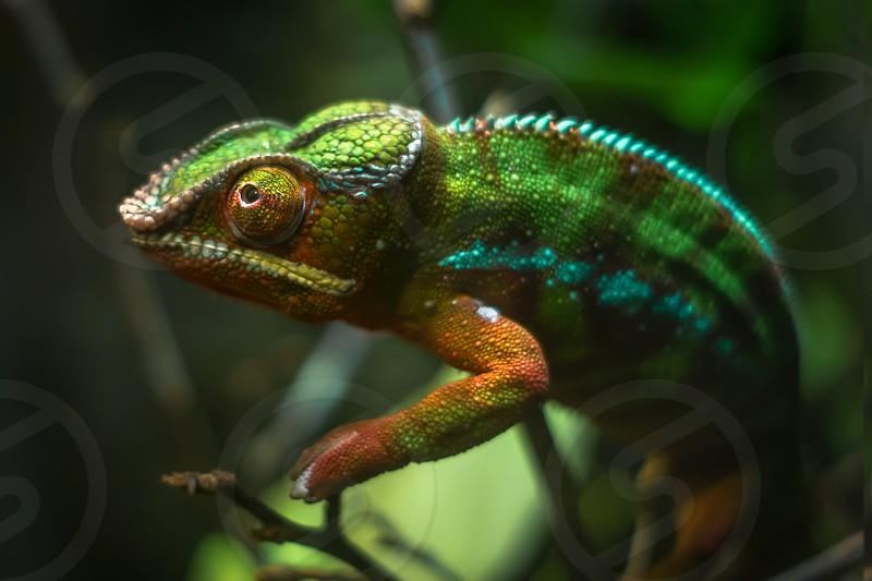 Animal Reptile Chameleon Camouflage Green Lizard Pet Reptile Green Vibrant Colors. photo