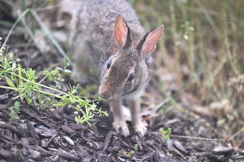 brown rabbit photo