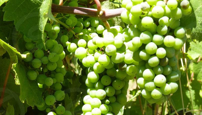 wine grapes photo