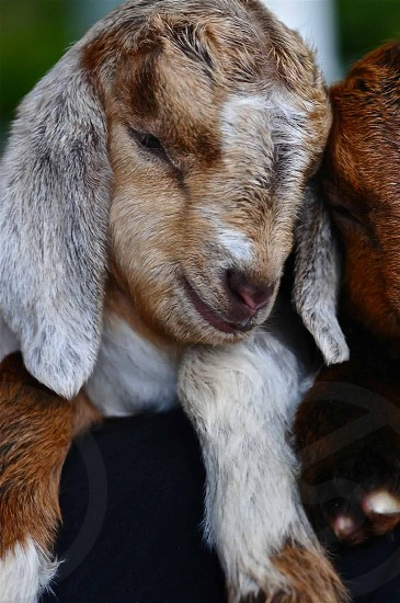 closed up photo of white and beige goat kid photo