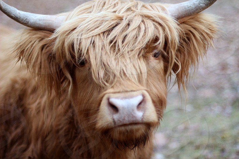 highland cow country living photo