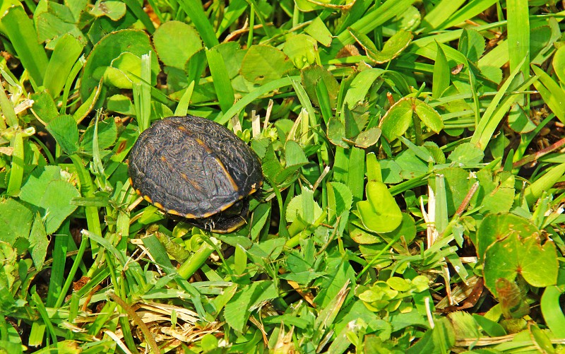 black and brown turtle photo