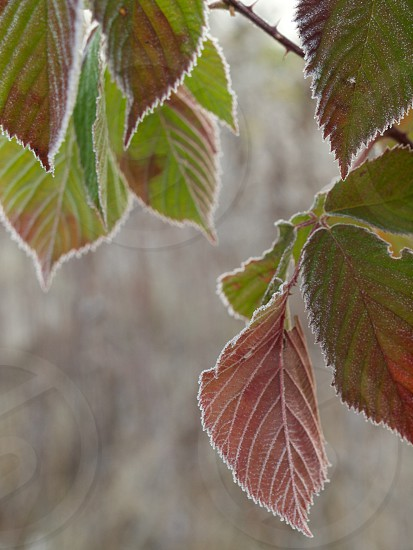 Frost leaves. photo