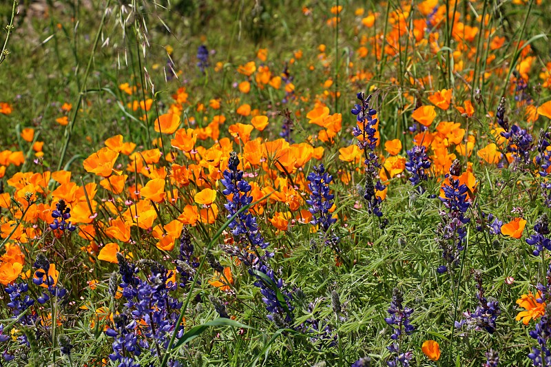 Golden poppies and purple Lupine grow wild. photo