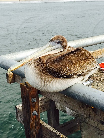 Pelican at rest  photo