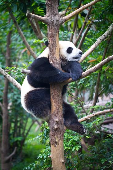 Baby Panda Tree China photo