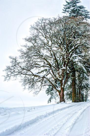 Winter Snow landscape Oak tree photo