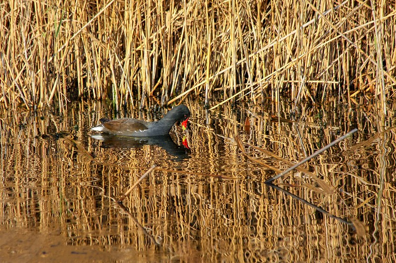 Moorhen bathed in golden light at Barnes Wetland Trust photo