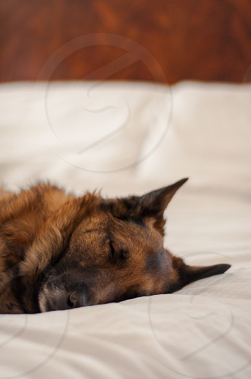 BEDS & NAP TIME | Heidi our Belgian Malinois/Shepherd snoozing away on our bed her favorite place to rest.  She is worn out! photo
