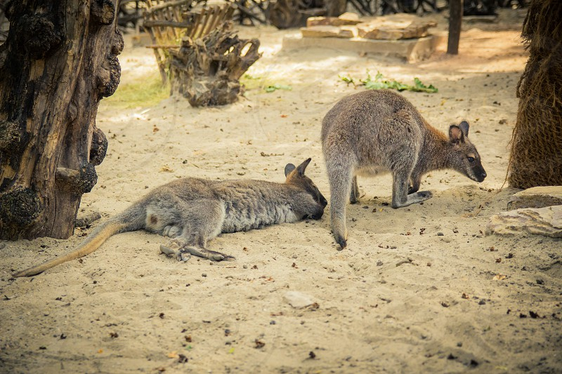 Red-necked wallaby in the zoo. photo