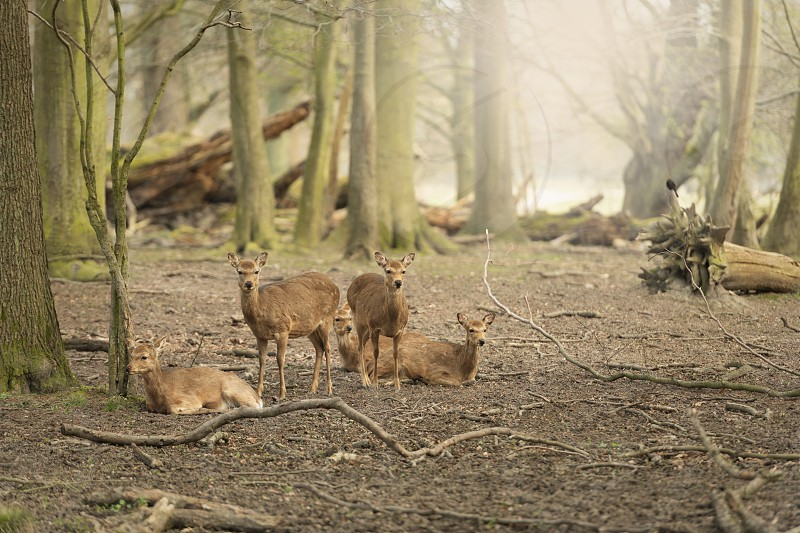 Five wild young deers in the spring sunny forest Klampenborg Denmark photo