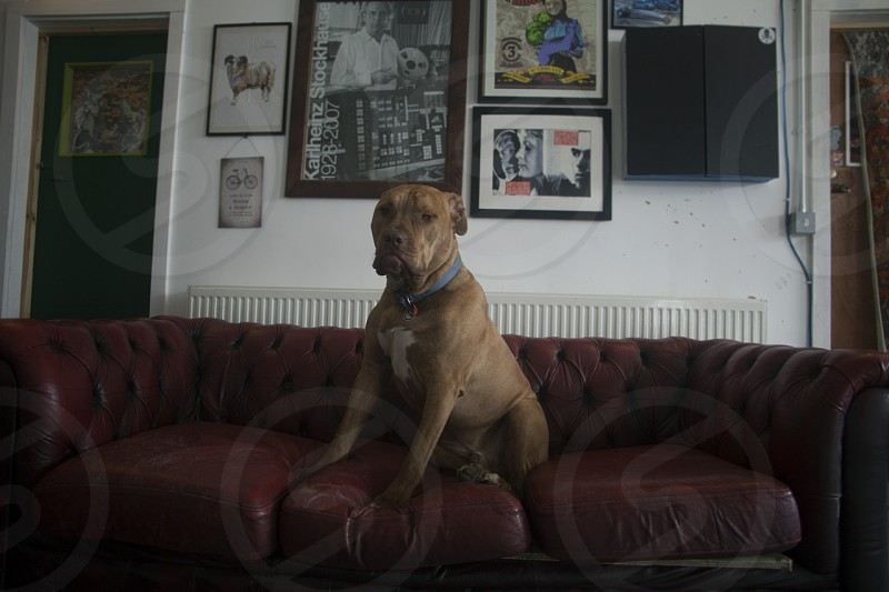 brown short haired medium sized dog sitting on brown leather couch photo