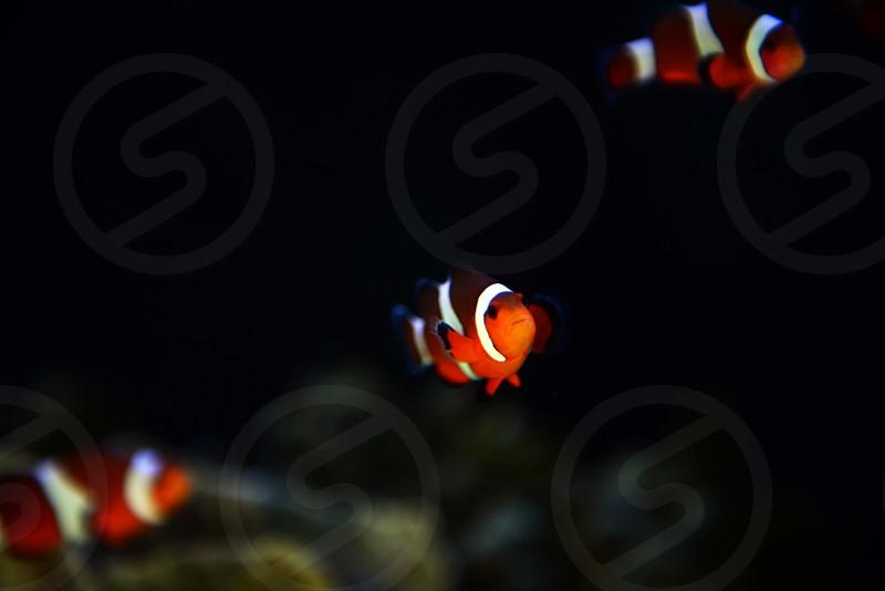 Clownfish  photo