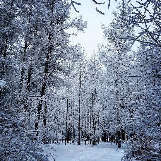 WinterRussianRussian  winter tree snow photo