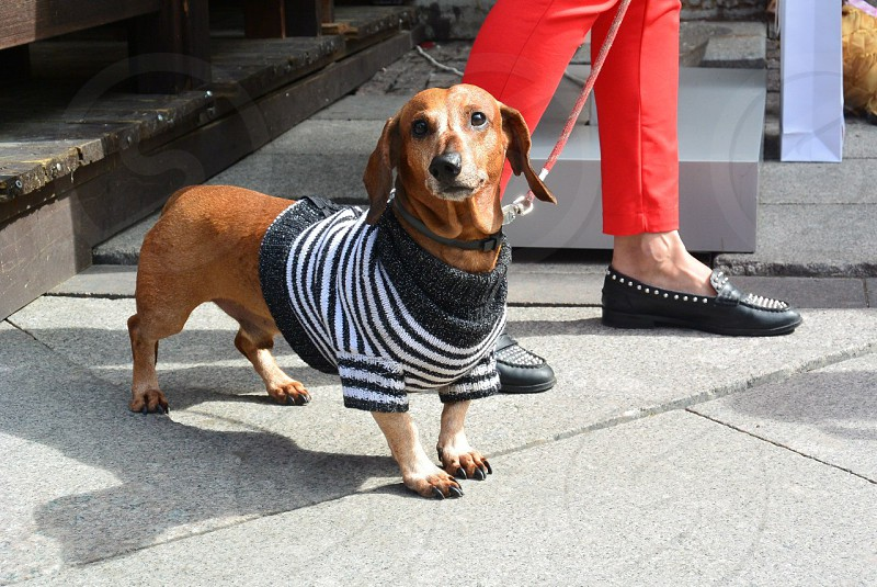 Woman walks her dachshund dressed in sweater photo
