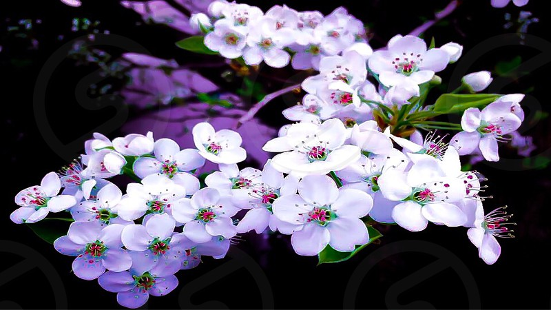 Flowers cherry blossom nature nature photo flowers photo photo