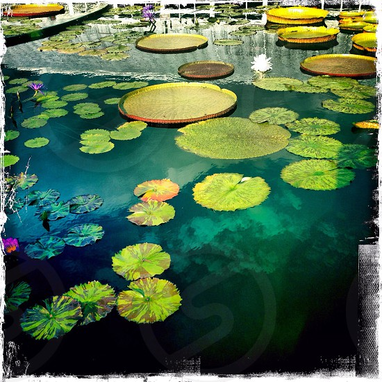 Green lily pads photo