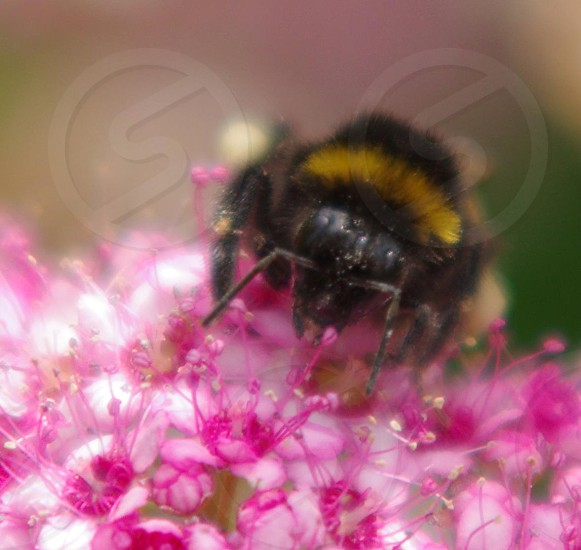 black and yellow bumblebee sucking nectar on pink flower buds in tilt lens photo
