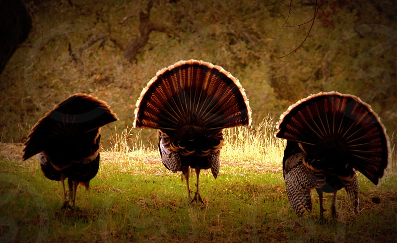 I know these turkeys are happy they're walking free photo