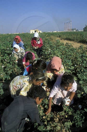 childern earning cotton on a Cotton Plantation near the city of Aleppo in Syria in the middle east photo
