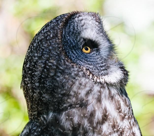 Great Gray owl photo