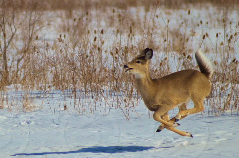 Running Whitetail deer in snow photo