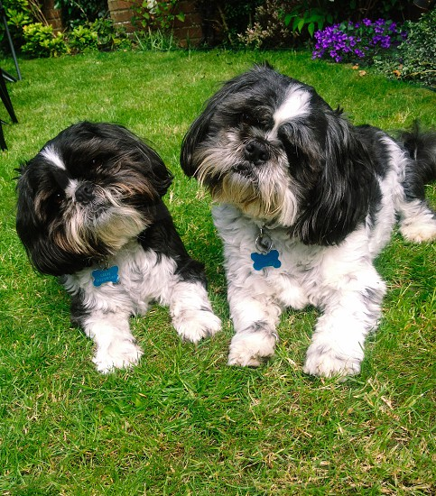 2 white black long haired dog on green field photo