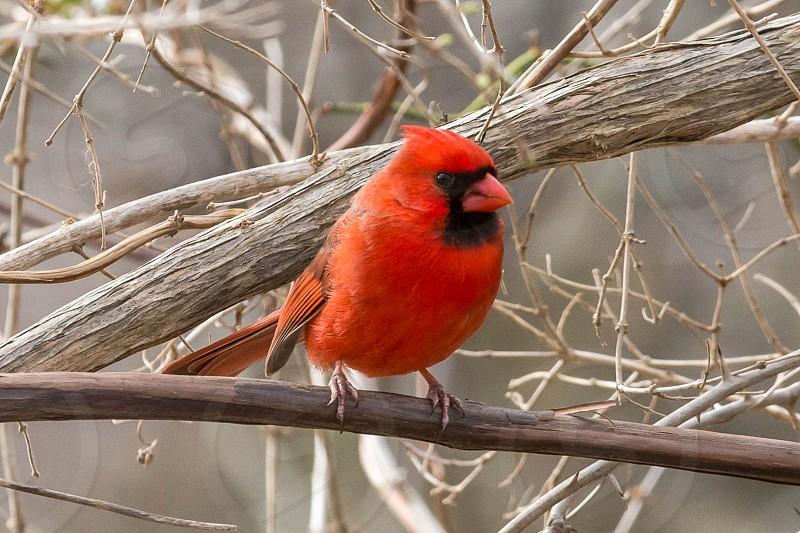 Cardinal at Elizabeth Morton Wildlife Refuge photo