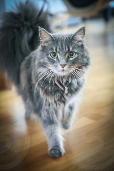 Cute cat face walking grey cat looking at camera whiskers whisker Adorable  long hair photo