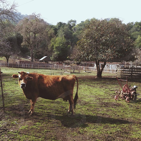 brown skinned cow  photo