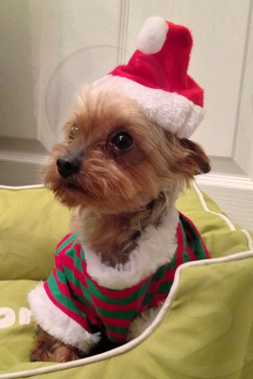 A photo of Camper my toy Yorkshire terrier at Christmas. photo