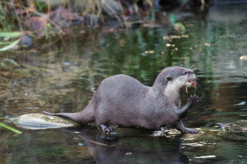 Asian Small-clawed Otter (Aonyx cinerea syn. Amblonyx cinereus) photo