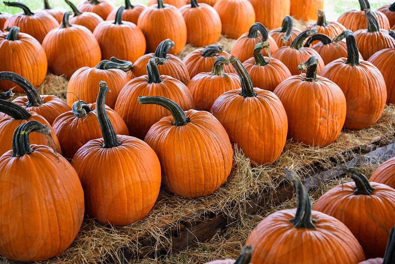 aligned pumpkins on haystack photo