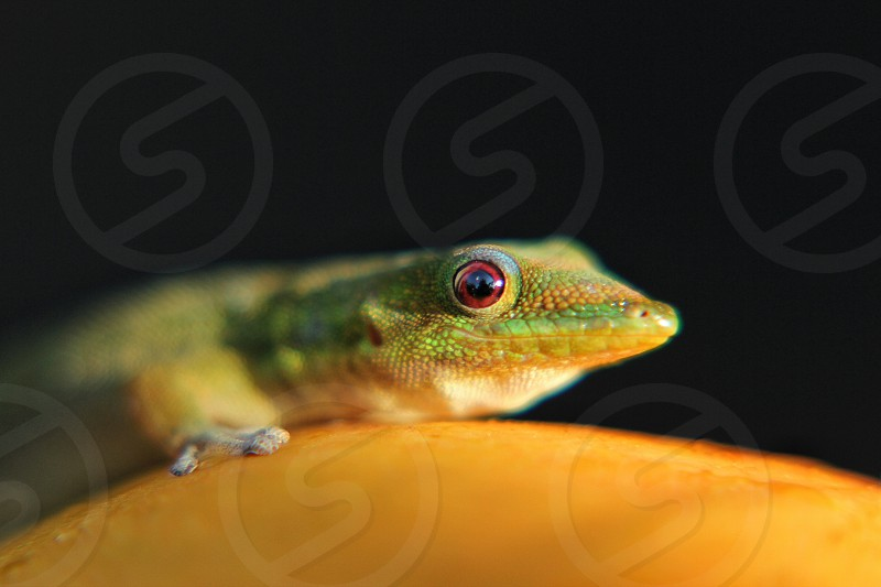 green gecko on a mango photo