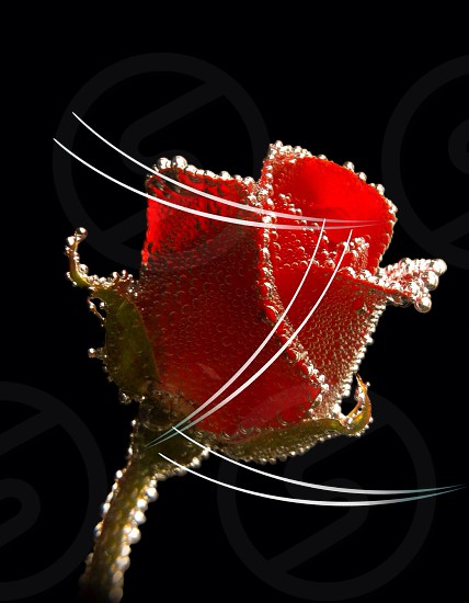 red rose with clear water dew drops photo