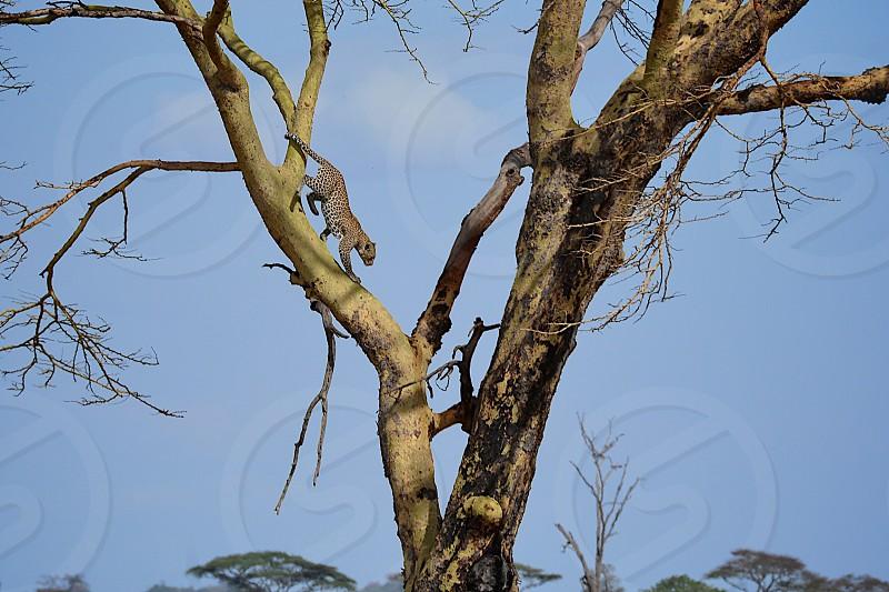 Leopard on the Move - Serengeti National Park - Tanzania photo