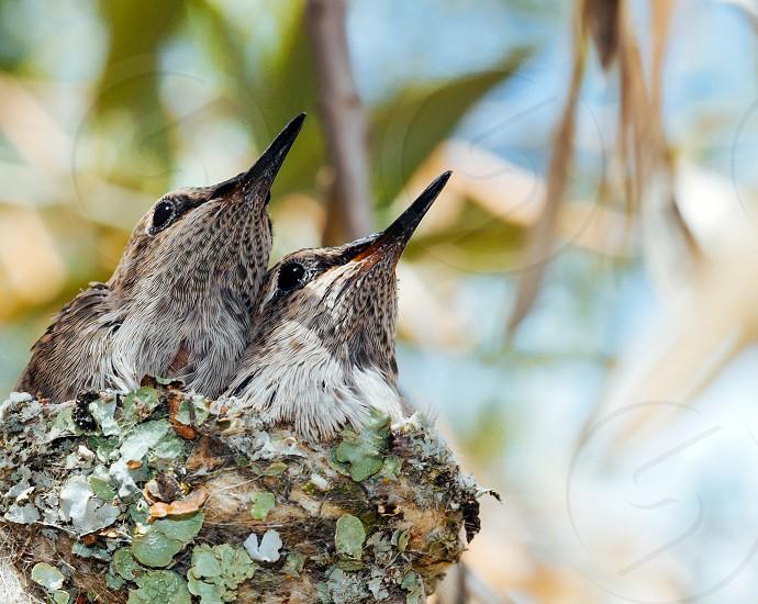 baby hummingbirds photo
