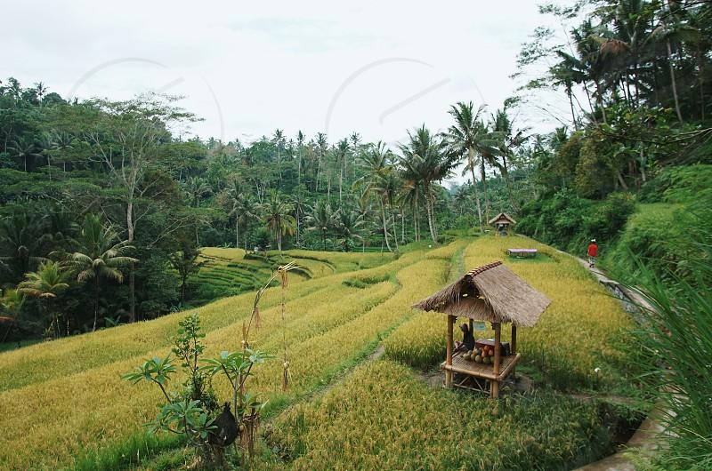Rice field in Tampaksiring Bali photo