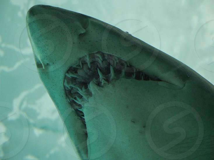 Shark teeth swimming underwater photo