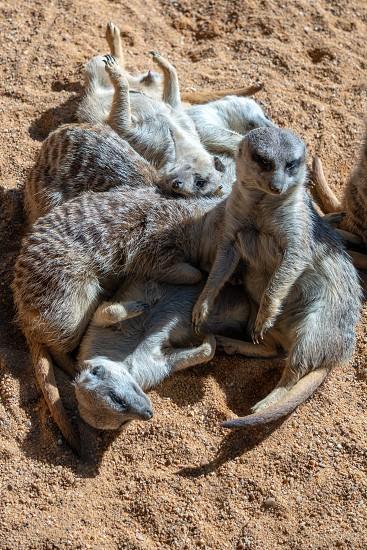 VALENCIA SPAIN - FEBRUARY 26 : Meerkats at the Bioparc in Valencia Spain on February 26 2019 photo