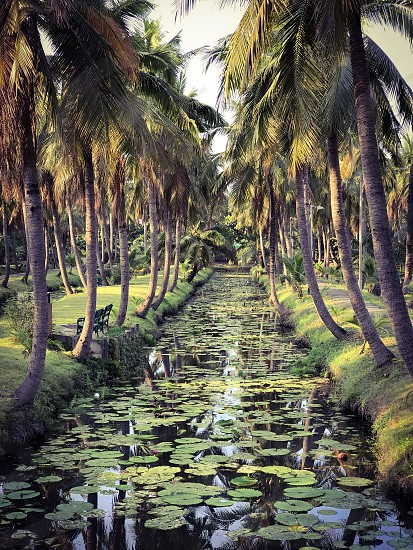 coconut garden orchard plantation farm agriculture tropical southeast Asia Thailand cultivation green palm tree shade park outdoor nature ecology Cocos nucifera water photo