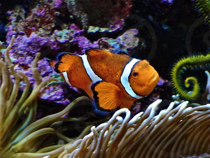 "Fish ""nemo"" clown fish reef orange ocean photo"