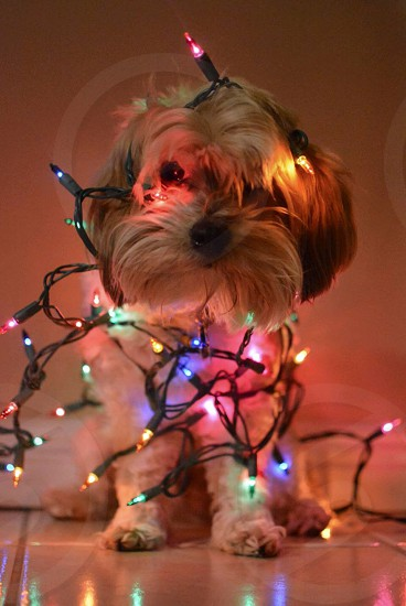 silky terrier with Christmas light photo