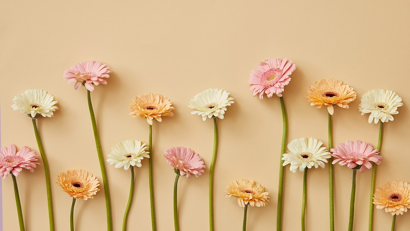 Flower composition with white pink and orange gerbera flowers on a beige background from Mother's Day as post card or as a screensaver on the site photo
